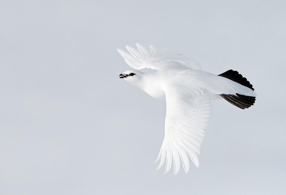 Markus Varesvuo| Bird Photographer of the Year 2017 מדליית ארד | שכווי השלג במעוף באביב בפינלנד ()