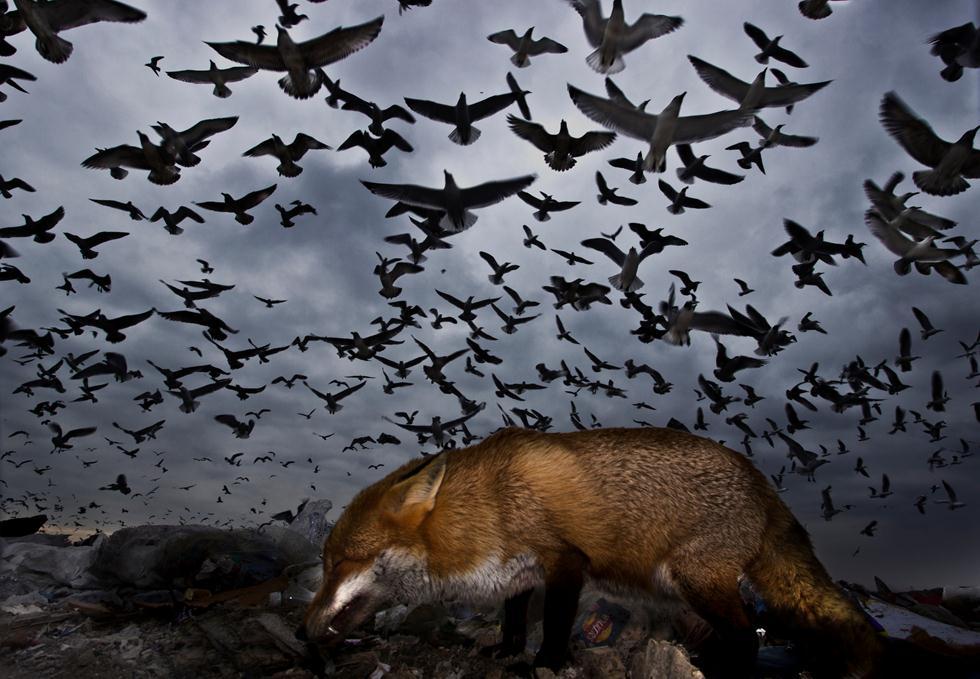 gabor kapus| Bird Photographer of the Year 2017 ציון לשבח | שועל חולף ליד המוני שחפים בבריטניה ()