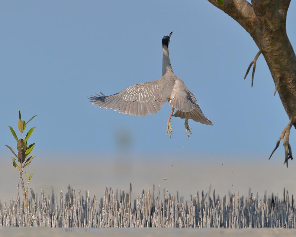 Georgina Steytler| Bird Photographer of the Year 2017 ציון לשבח | אנפת מנגרובים מזנקת במערב אוסטרליה ()