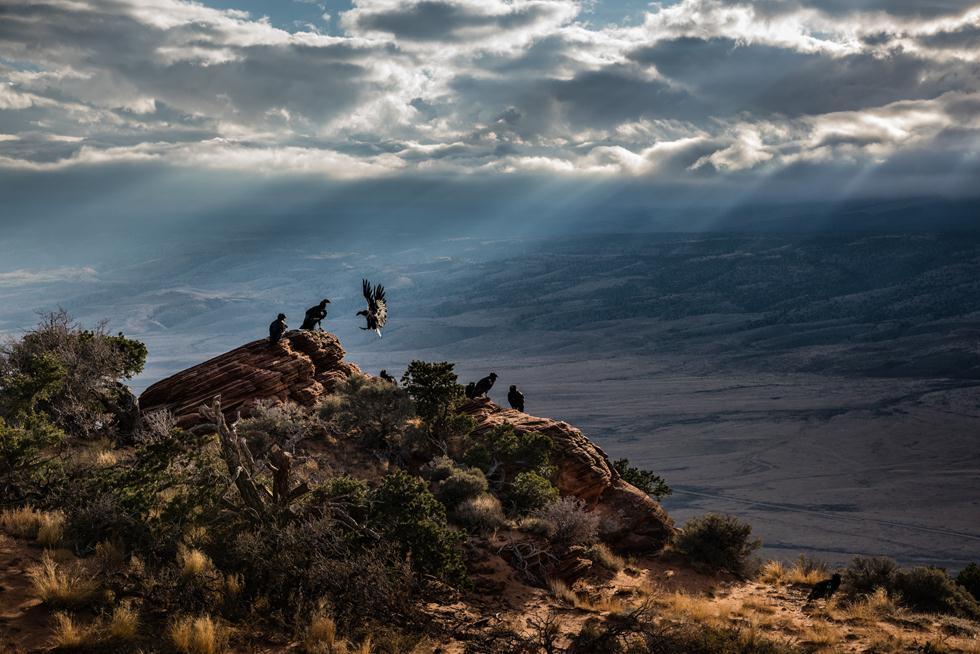 John Sherman| Bird Photographer of the Year 2017 | ציון לשבח | קונדורי קליפורניה על מצוקים באריזונה ()