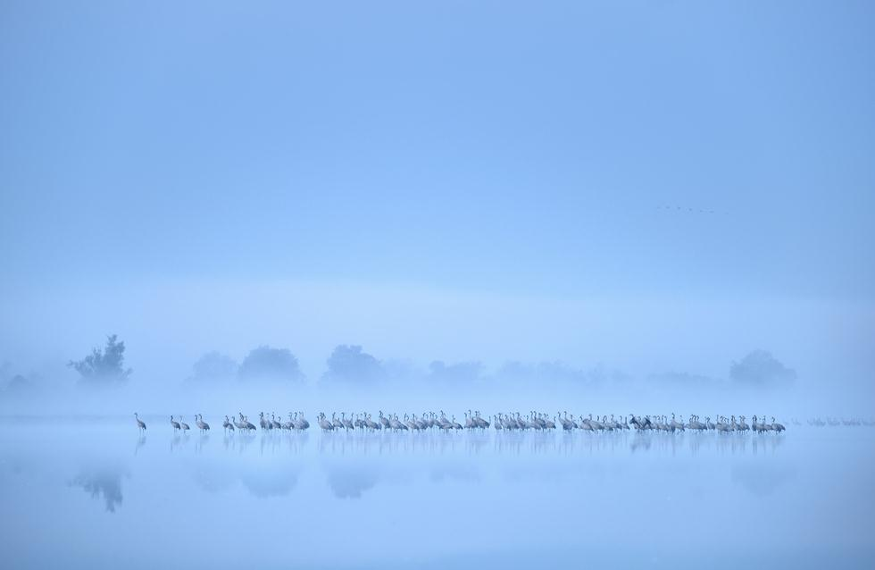 Piotr Chara| Bird Photographer of the Year 2017 | מדליית כסף | נדידת העגורים האפורים בביצות במערב פולין ()