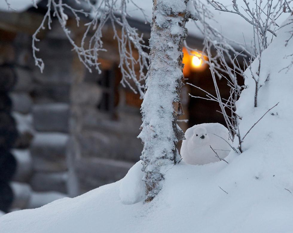 Markus Varesvuo| Bird Photographer of the Year 2017 | מדליית ארד | שכווי אירופאי בסמוך לבקתת הצלם בפינלנד  ()