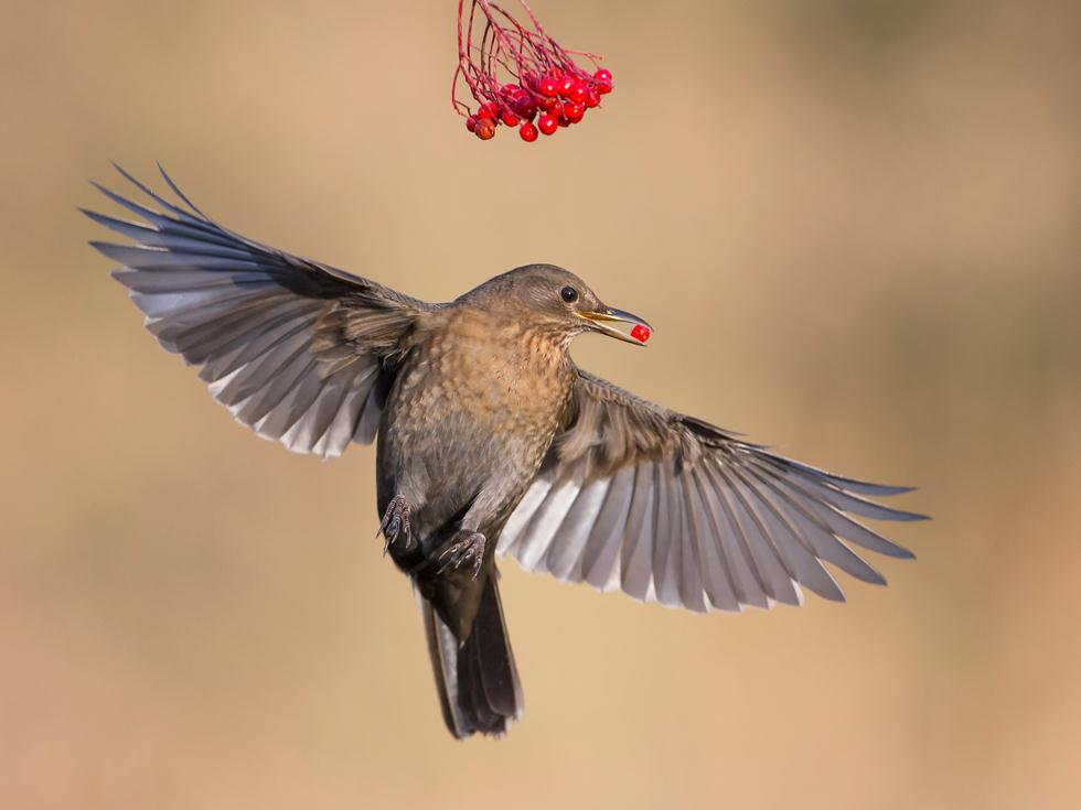 Roy Rimmer| Bird Photographer of the Year 2017 | ציון לשבח | נקבת שחרור קוטפת חמוציות בגינה בבריטניה ()
