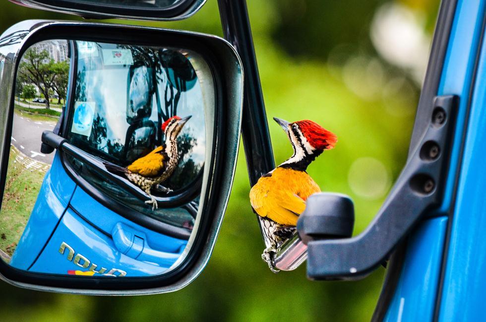 kelvin dao| Bird Photographer of the Year 2017 | ציון לשבח | נקר מביט בהשתקפותו במראת צד של משאית בסינגפור ()