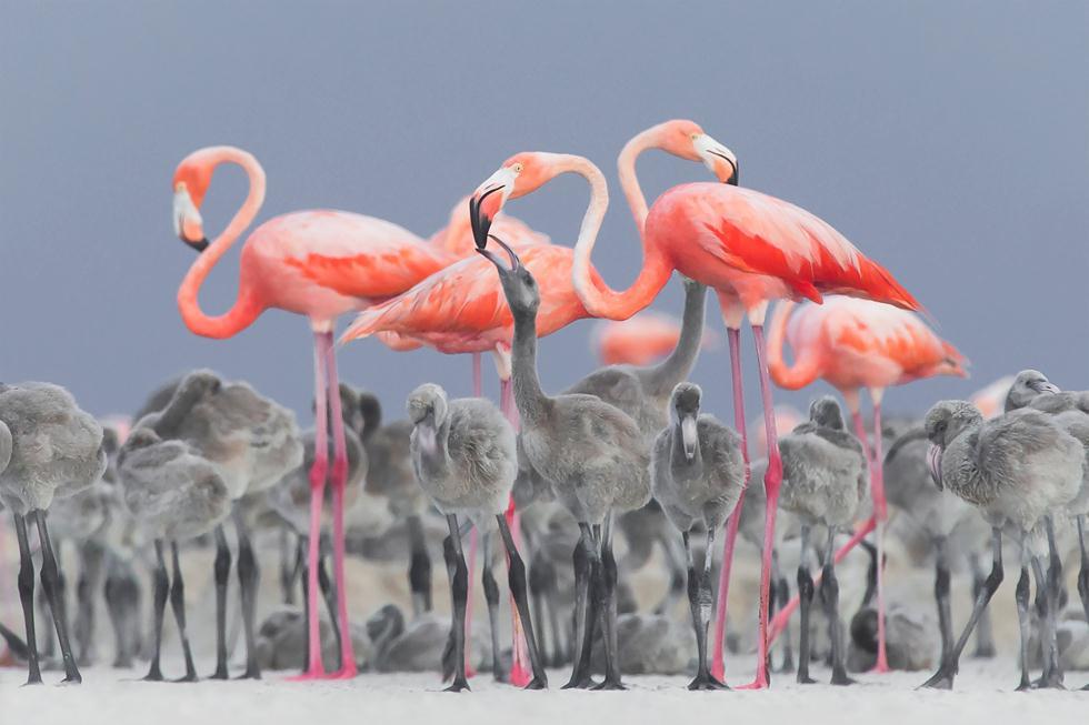 הצילום הזוכה בתחרות - פלמינגו ורוד מאכיל פלמינגו צעיר במקסיקו | ALEJANDRO PRIETO ROJAS | Bird Photographer of the Year 2017  ()