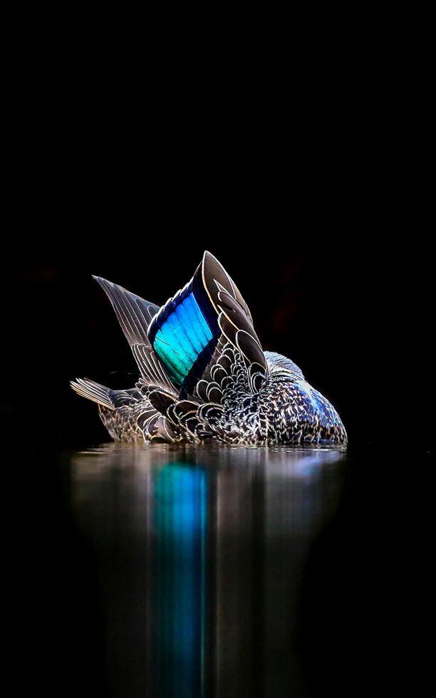 Georgina Steytler| Bird Photographer of the Year 2017 | מקום ראשון בקטגוריה | ברווז פסיפי טובל במים במערב אוסטרליה ()