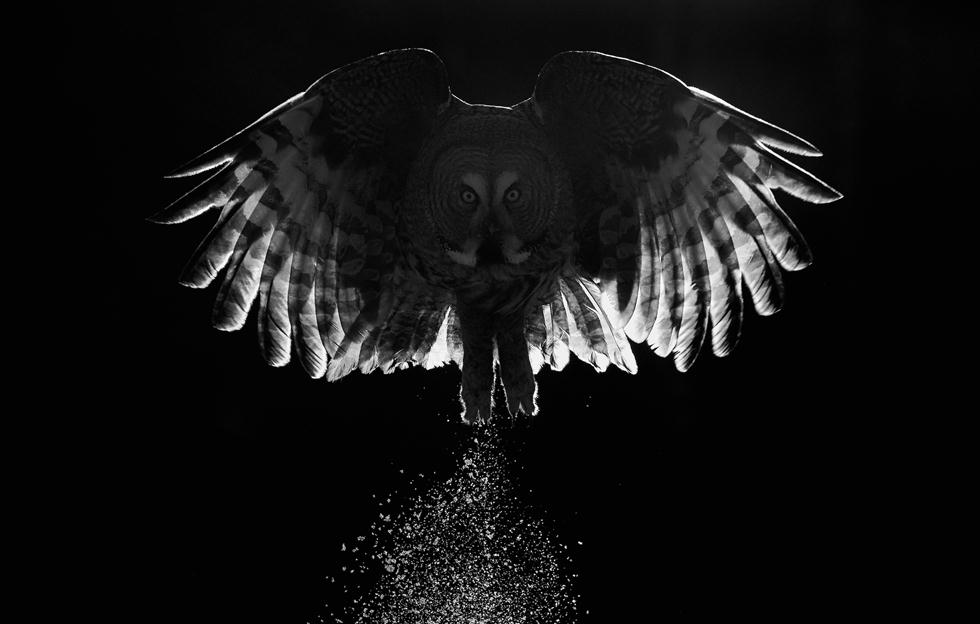 Markus Varesvuo| Bird Photographer of the Year 2017 | ציון לשבח | לילית אפורה מתרוממת לתעופה בשלג בפינלנד ()