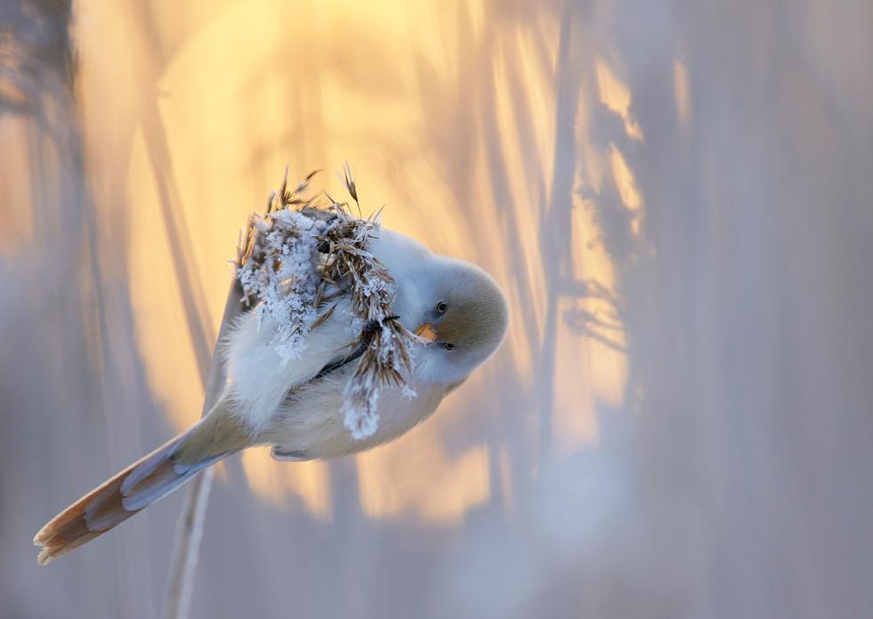 Markus Varesvuo| Bird Photographer of the Year 2017 | מקום ראשון בקטגוריה | שפמתן על ענף על רקע שקיעה חורפית בפינלנד ()