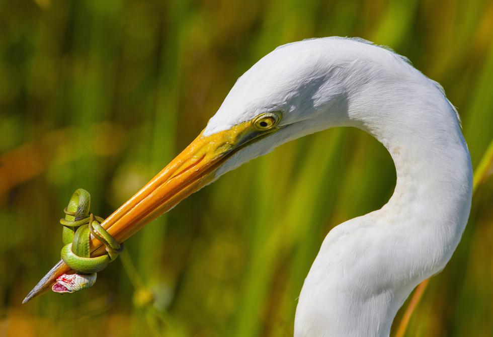 jose Garcia| Bird Photographer of the Year 2017 | ציון לשבח | לבנית גדולה נאבקה בציד של נחש ירוק במשך 20 דקות בפארק האברגליידס בפלורידה, אך לבסוף הנחש חמק  ()
