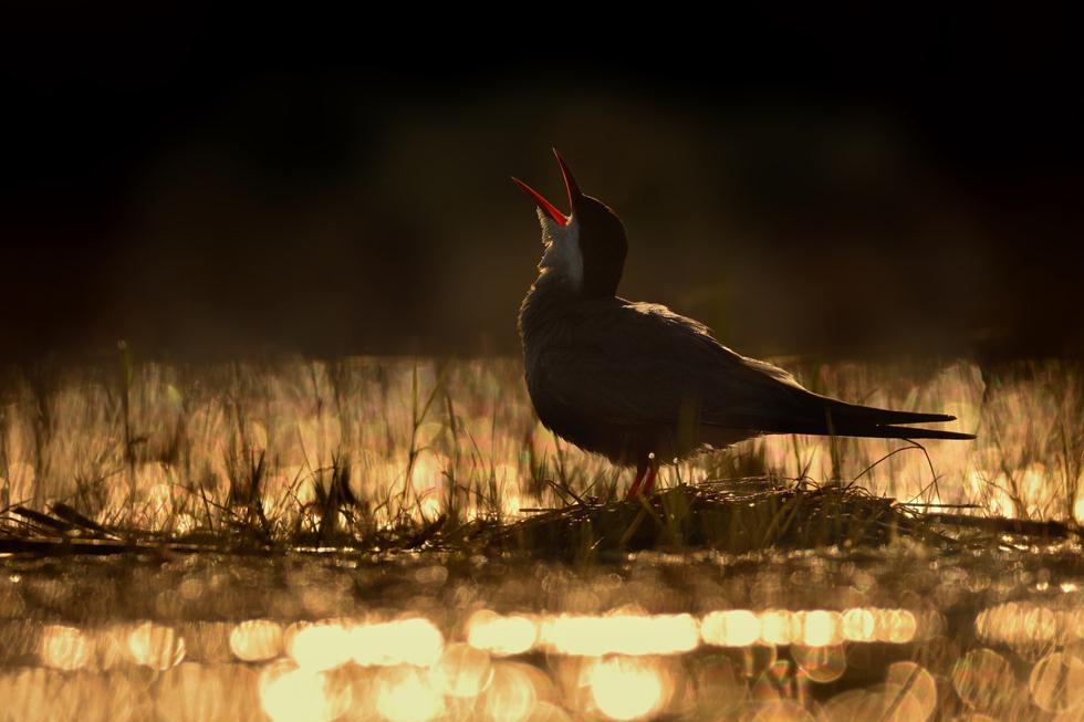 Ondrej Pelanek| Bird Photographer of the Year 2017 | צלם השנה הצעיר | מירומית לבנת לחי קוראת בקול בשעת זריחה בדרום הונגריה  ()