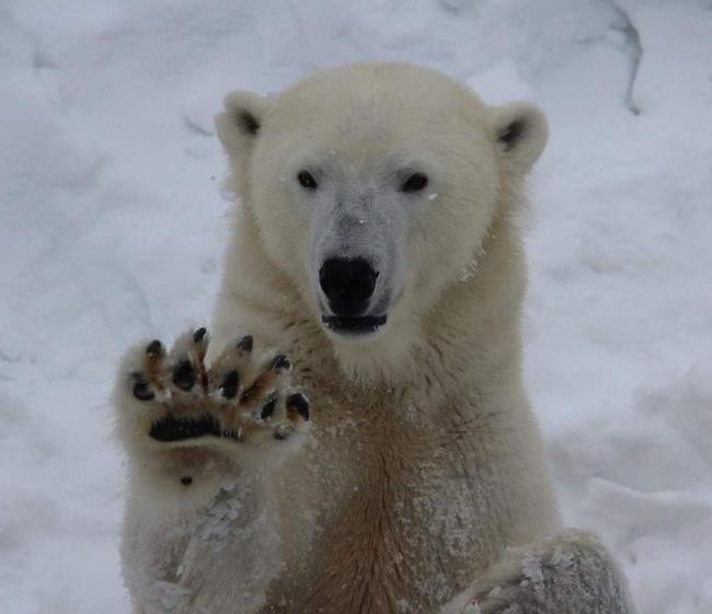 גם אתה בוהה בנטע? דוב קוטב בשמורת הטבע רנואה