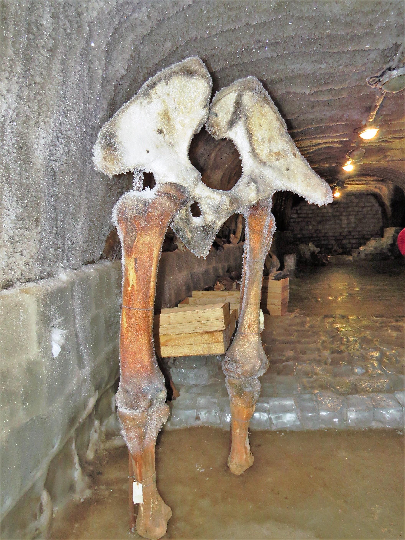 מראה לא רגיל: אגן של ממותה (צילום: רונית ישראלי) (צילום: רונית ישראלי)