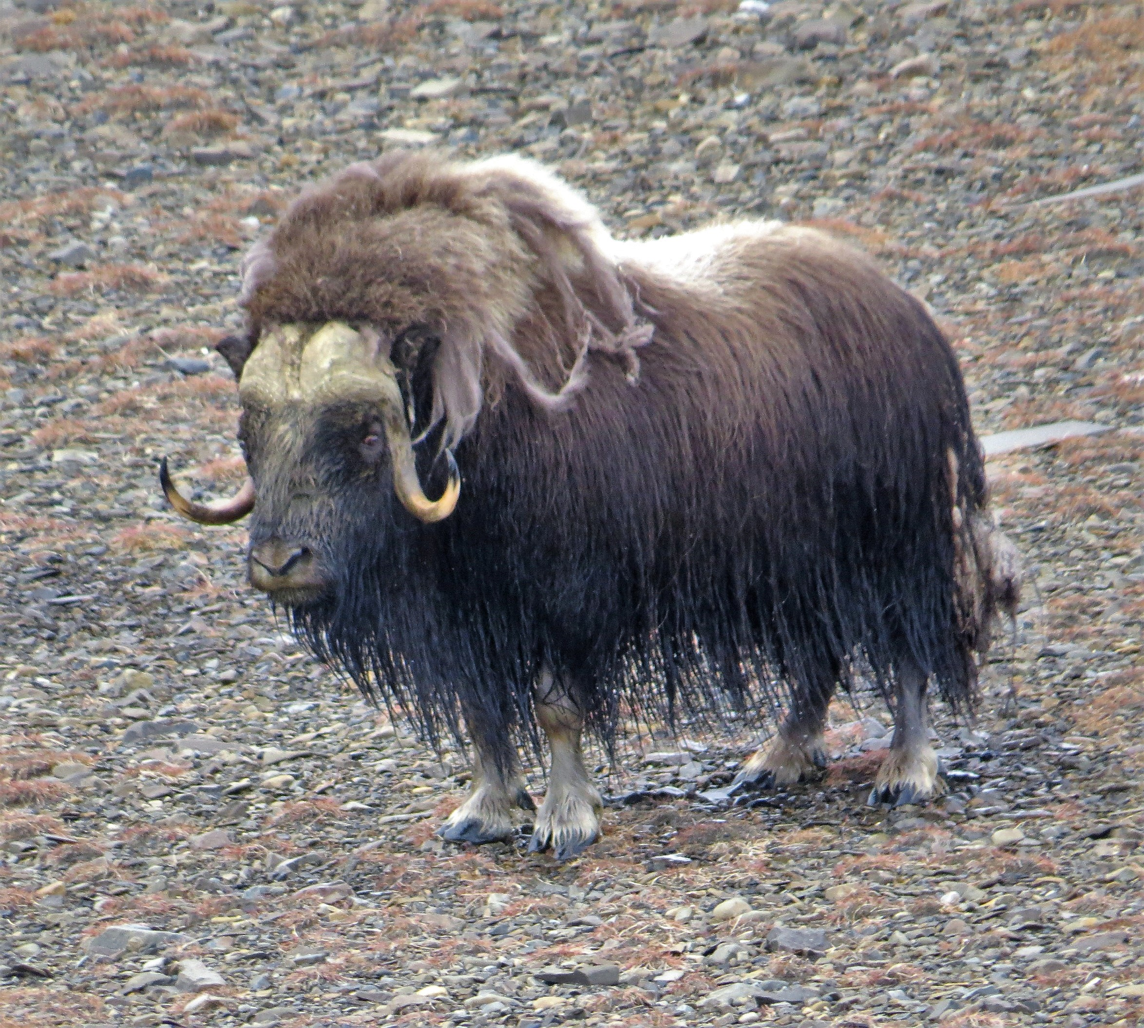 כבש הרעמה מפגין עוצמה (צילום: רונית ישראלי) (צילום: רונית ישראלי)