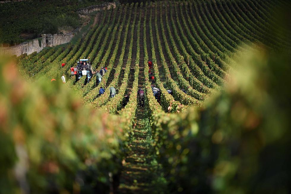 בציר ענבים באחוזת היין ז'בריי שמברטאן בצרפת (צילום: AFP)