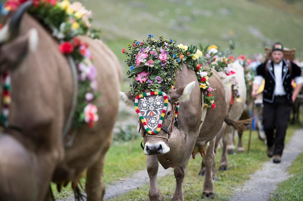 פרות מעוטרות בפרחים בתהלוכה מהמרעה האלפיני לעיר ואסן בשווייץ (צילום: EPA)