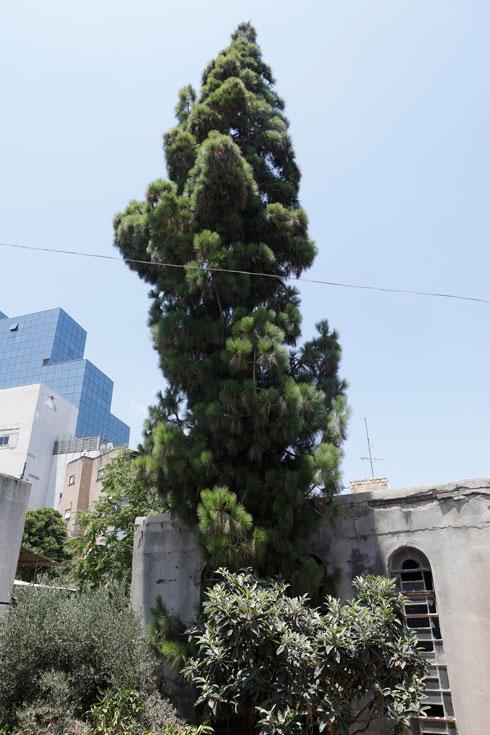 עץ בחצר בית הכנסת. האדריכלים שתכננו אותו היו מהמבוקשים בחיפה בראשית המאה ה-20  (צילום: עמרי טלמור)