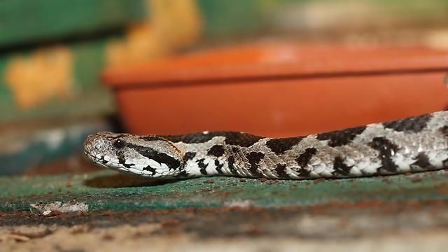 צפע ארצישראלי. ארס רב גם בנחשים קטנים (צילום: shutterstock) (צילום: shutterstock)