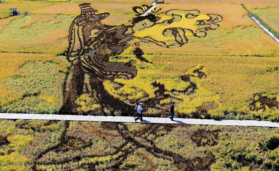 זני אורז שונים מתחברים לכדי ציור בשן-יאנג, סין. המטרה: קידום התיירות (צילום: AFP)