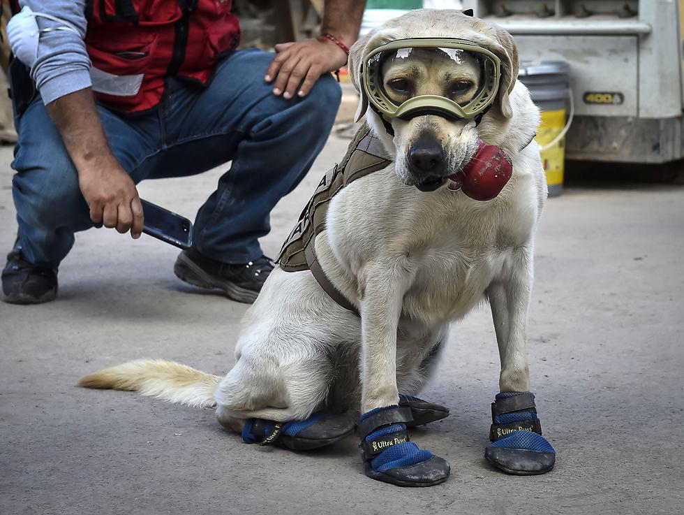 פרידה, כלבת הצלה מקסיקנית, משתתפת בחיפוש לכודים בעקבות רעידת האדמה (צילום: AFP)