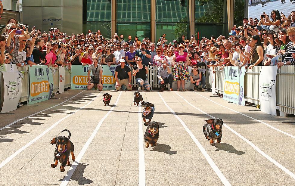 מרוץ כלבי התחש השנתי במלבורן, אוסטרליה (צילום: gettyimages)