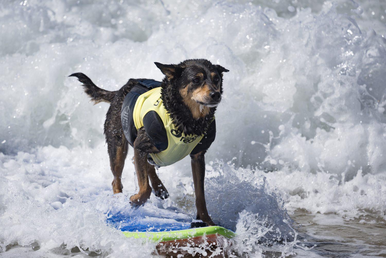 רציני משהו: הכלב ABBIE האוסטרלי (Ronen Tivony/NurPhoto)