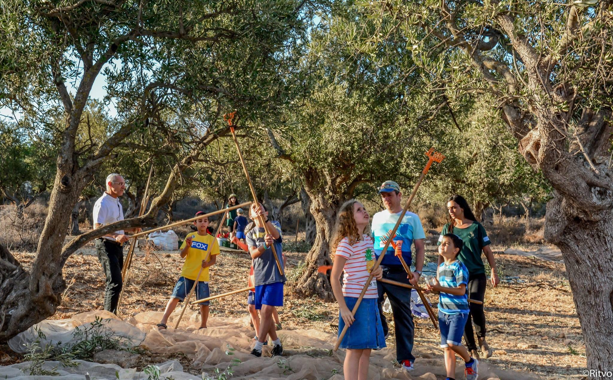 פסטיבל מסיק הזיתים בעין מכמונים (צילום: דורית ריטבו)
