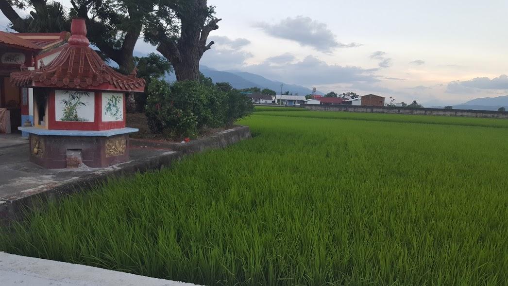 שדות האורז בשדרות מיסטר בראון