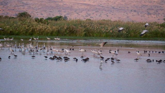 עופות באגמון (צילום: מוטי קמחי) (צילום: מוטי קמחי)