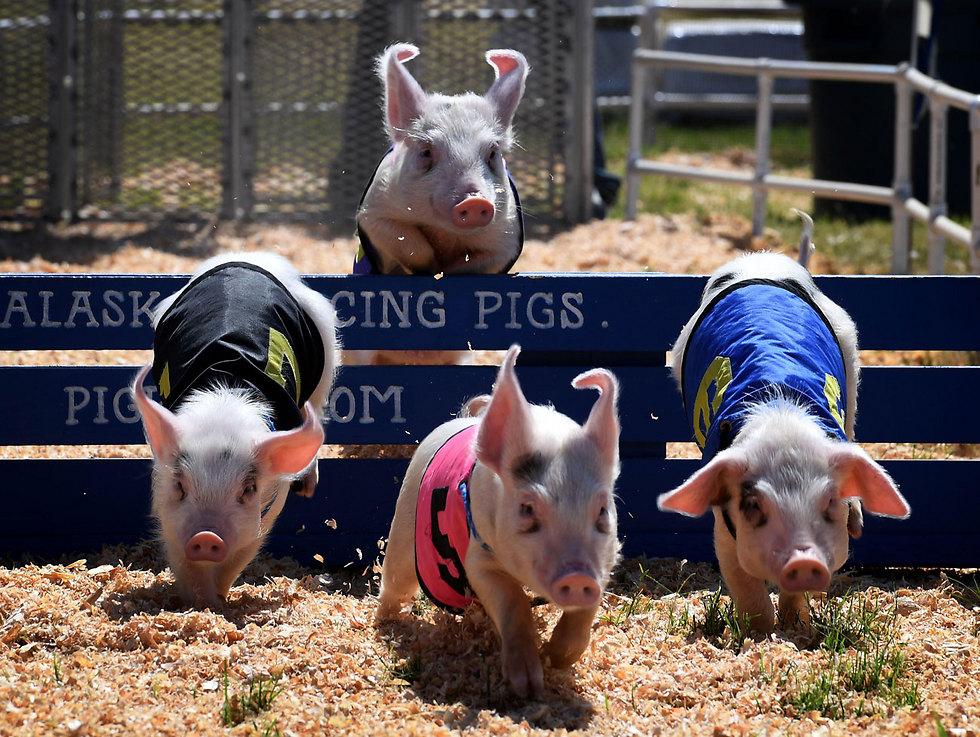 מרוץ חזירים בבייקרספילד, קליפורניה (צילום: AFP)