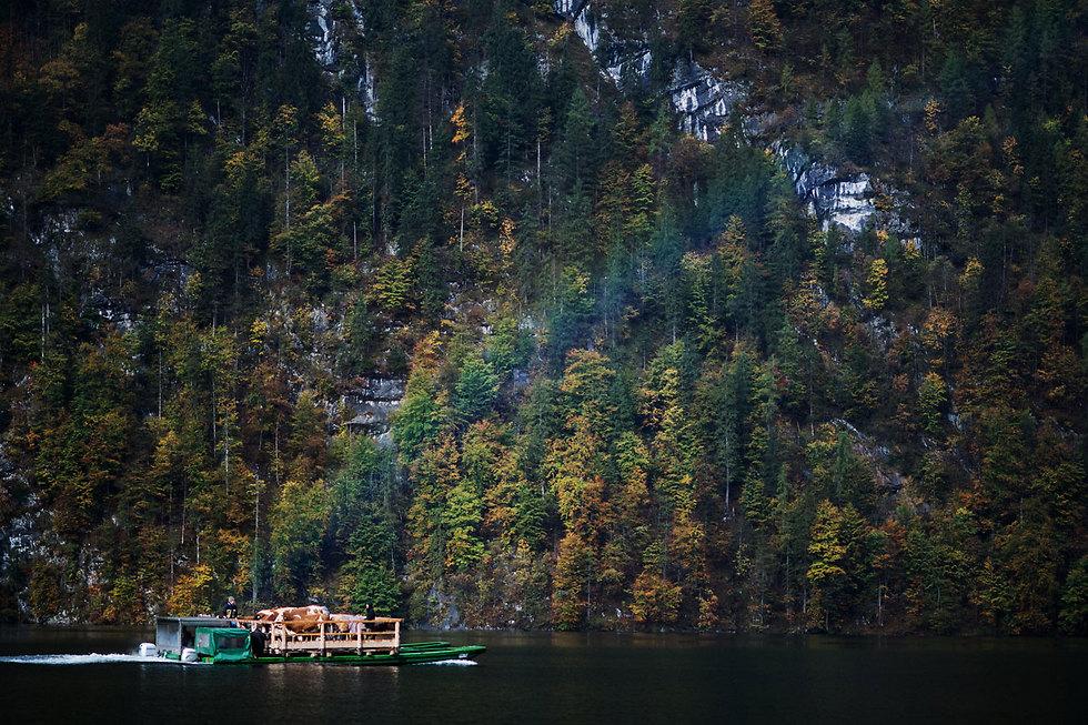 חקלאים ופרות חוזרים בסירות ממרעה הקיץ. אגם קוניגסה, גרמניה (צילום: EPA)