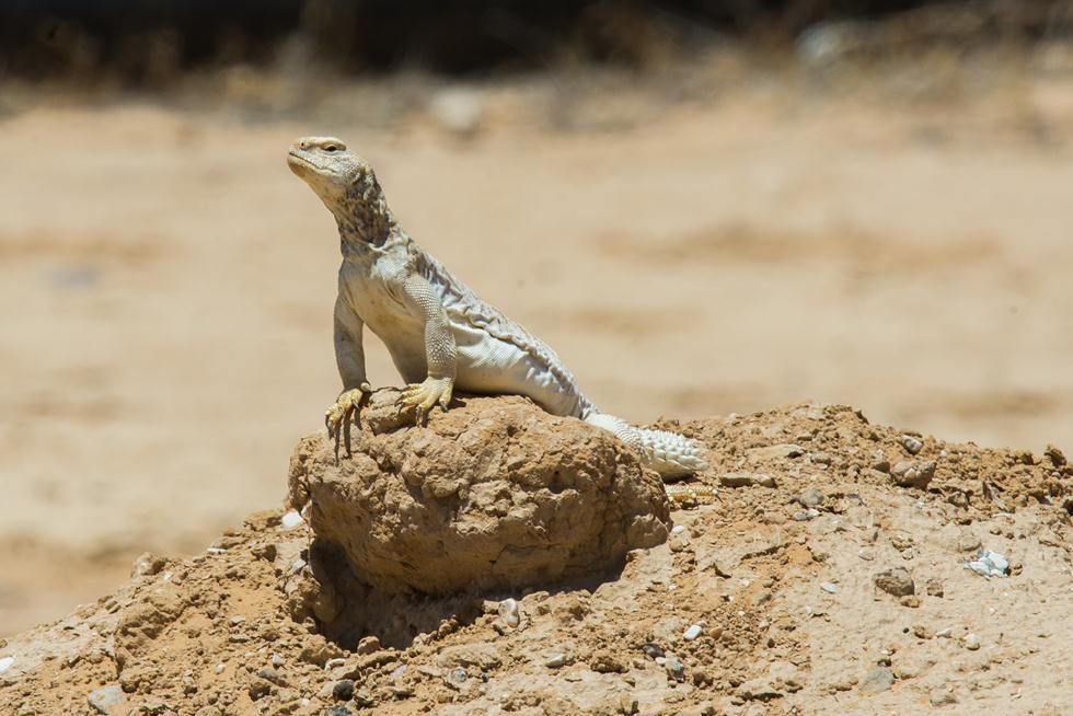 חרדון צב מצוי מתצפת בישראל (צילום: Alex Slavenko, Tel Aviv University)