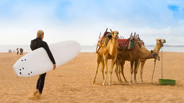 גמלים בדרך לגלים גלישה בחוף בעיר אסואירה (צילום: שאטרסטוק) (צילום: שאטרסטוק)