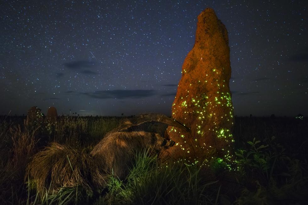 דב נמלים ענק בברזיל צד טרמיטים בקן. ברקע זחלים של נתוזיות (חיפושיות) זורחים כדי למשוך טרף - טרמיטים מעופפים (צילום: © Marcio Cabral - Wildlife Photographer of the Year 2017) (צילום: © Marcio Cabral - Wildlife Photographer of the Year 2017)