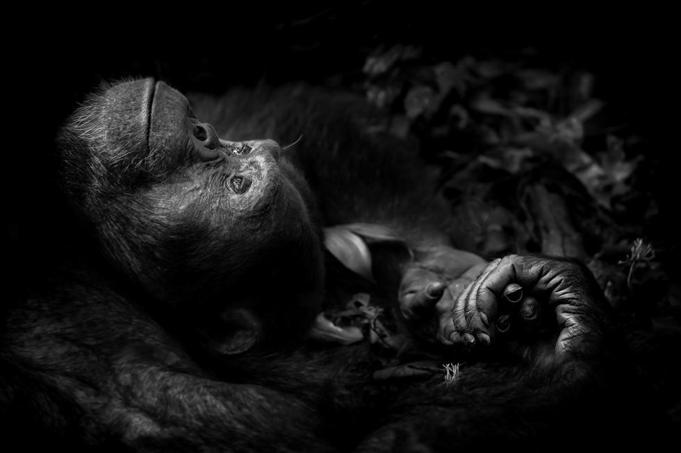 זכר שימפנזה באוגנדה נח ביער (צילום: © Peter Delaney - Wildlife Photographer of the Year 2017) (צילום: © Peter Delaney - Wildlife Photographer of the Year 2017)