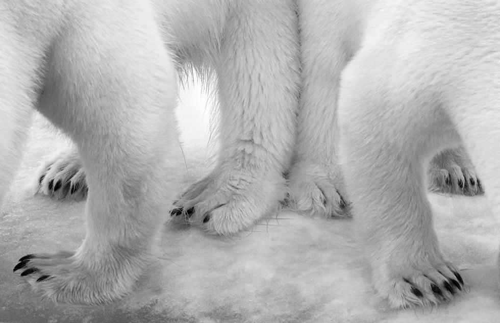 דובת קוטב ושני גורים תועדו מלקקים נוזלים שנשפכו לקרח עקב דליפה במטבח בספינת המסע בסבלברד (צילום: © Eilo Elvinger - Wildlife Photographer of the Year 2017) (צילום: © Eilo Elvinger - Wildlife Photographer of the Year 2017)