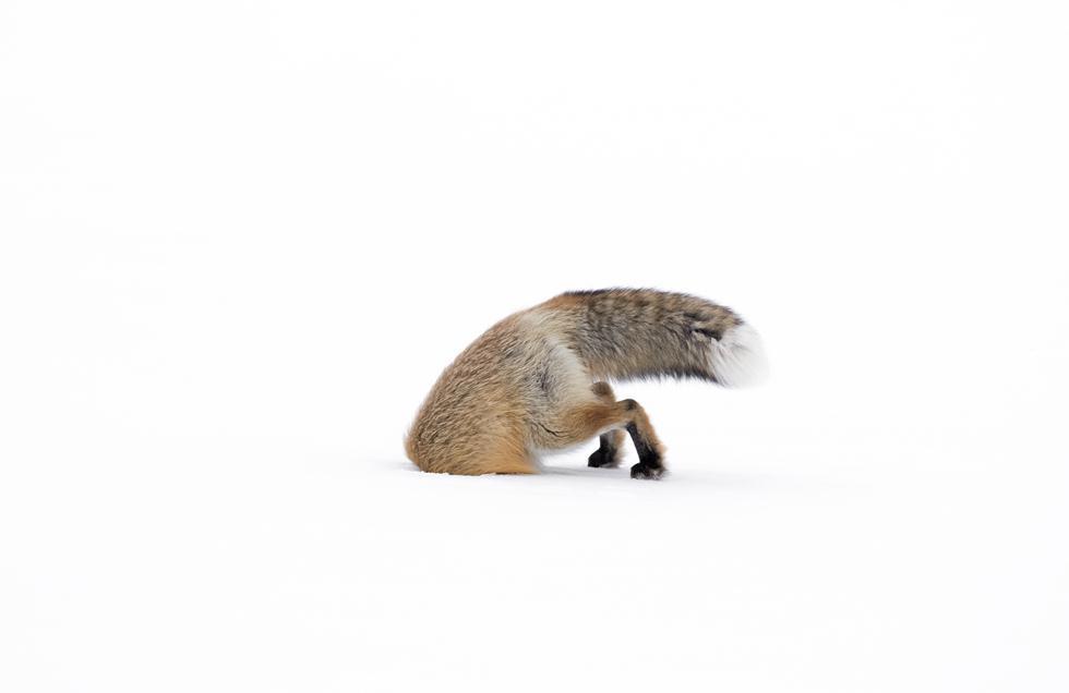 """נקבת שועל תקועה בשלג במהלך ניסיון ציד של מכרסם בחורף בפארק ילוסטון בארה""""ב (צילום: © Ashleigh Scully  - Wildlife Photographer of the Year 2017) (צילום: © Ashleigh Scully  - Wildlife Photographer of the Year 2017)"""