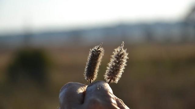 איסוף זרעים נבחרים לשתילה בשמורה (צילום: אורי מורן, עמי לזר, שי הופמן - רשות הטבע והגנים) (צילום: אורי מורן, עמי לזר, שי הופמן - רשות הטבע והגנים)