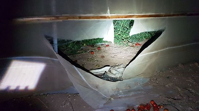 A cut in the tarp through which suspects allegedly entered the greenhouse (Photo: Police Spokesperson' Unit)