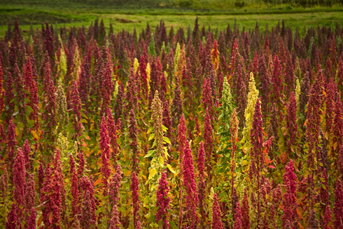 שדות קינואה בדרום אמריקה (צילום: shutterstock)