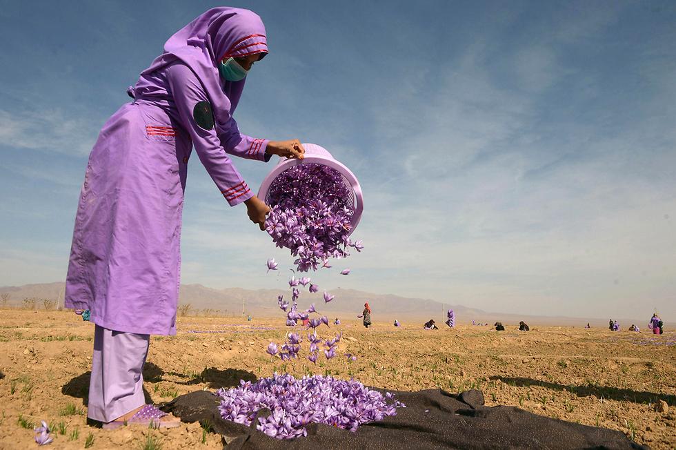 אישה אוספת פרחי זעפרן בשדה בפאתי הראט, אפגניסטן (צילום: AFP) (צילום: AFP)