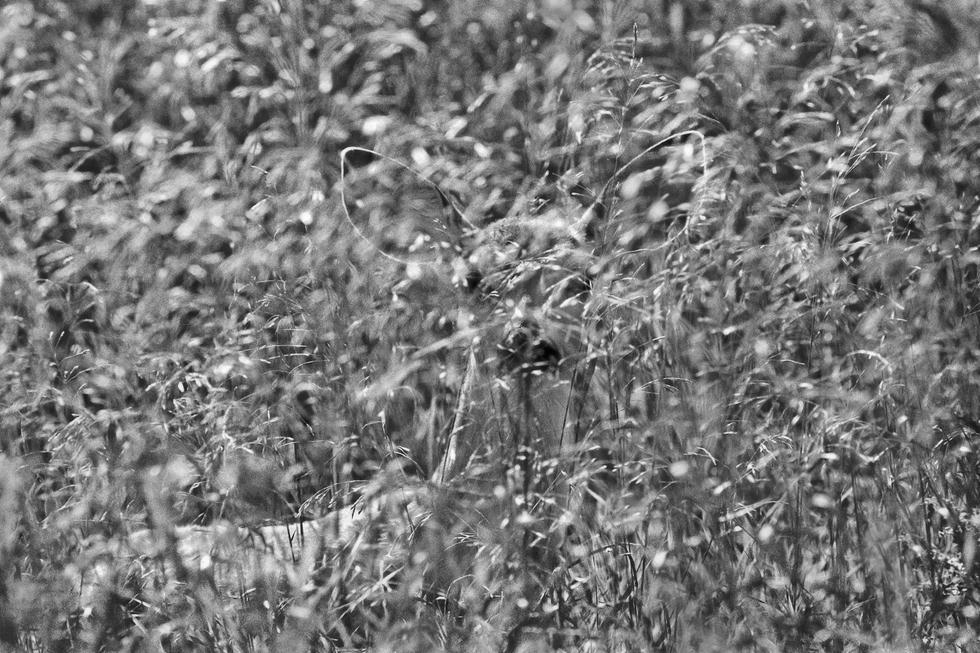 אייל מסתווה בעשב. מינסוטה, ארצות הברית. 1975 (צילום: Jim Brandenburg | Fritz Steiniger Award 2017 | GDT)