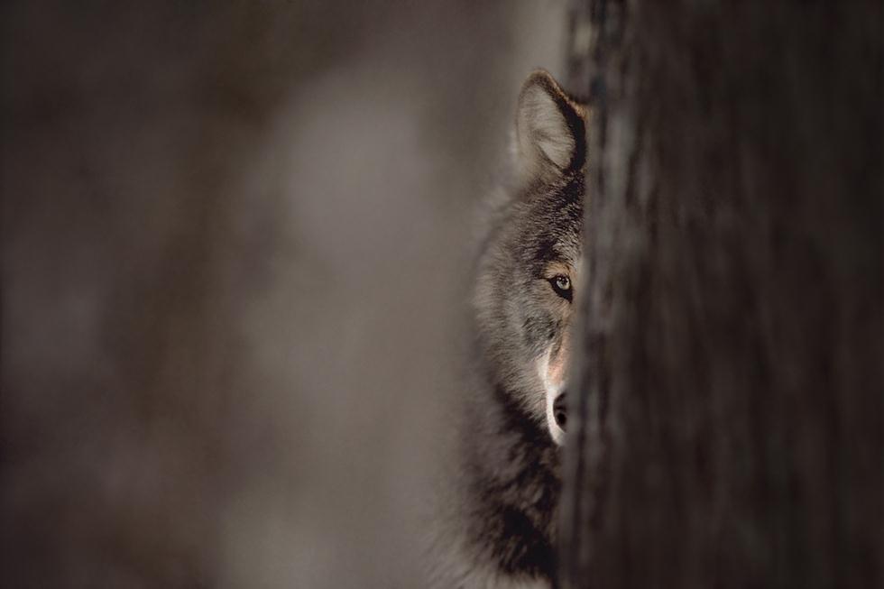זאב מסתתר במינסוטה, ארצות הברית, 1986 (צילום: Jim Brandenburg | Fritz Steiniger Award 2017 | GDT)