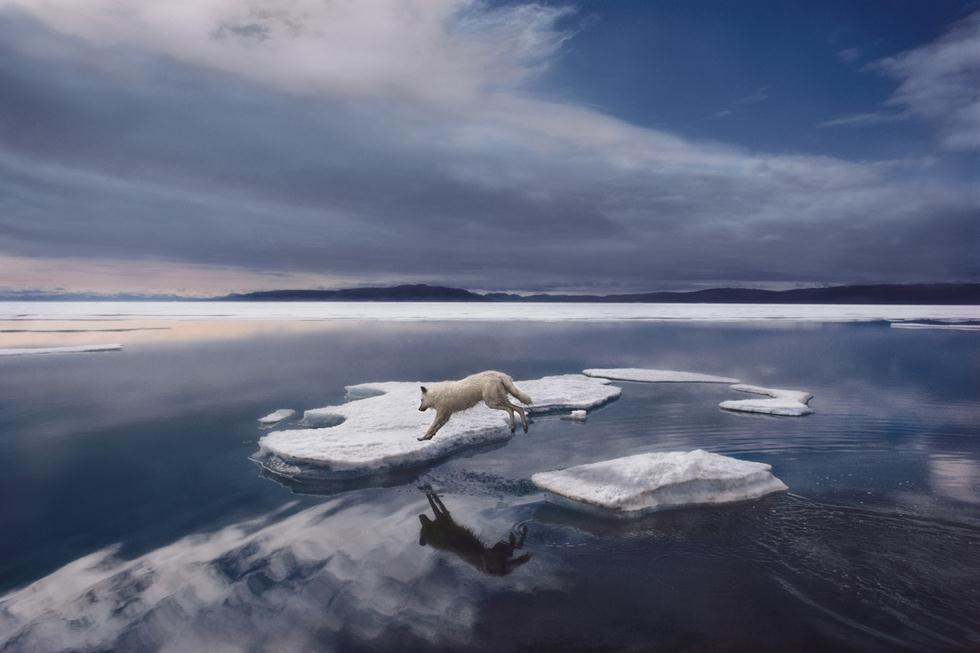 זאב לבן מזנק בין גושי הקרח בקנדה, 1986 (צילום: Jim Brandenburg | Fritz Steiniger Award 2017 | GDT)