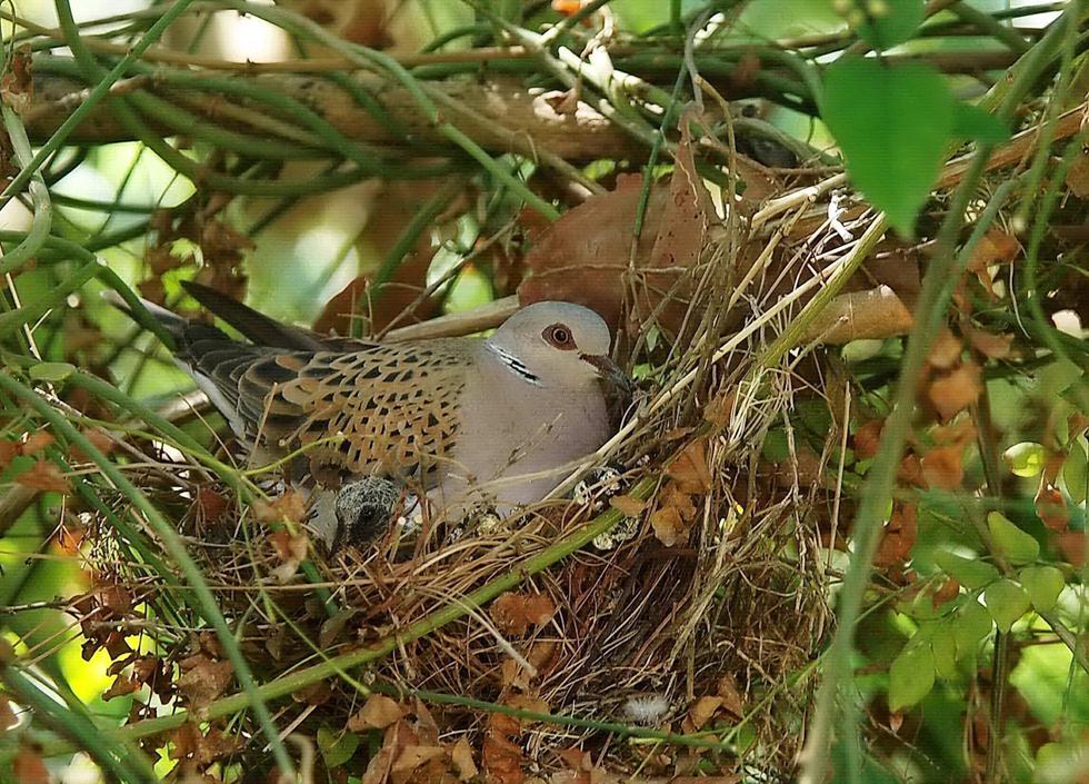תור מצוי וגוזלו בקן (צילום: עוזי פז)