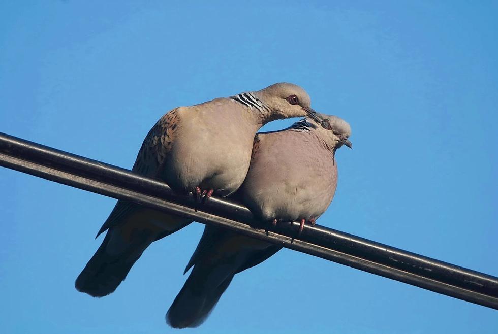 """""""נשיקת יונים"""" בין זוג תורים (צילום: עוזי פז)"""