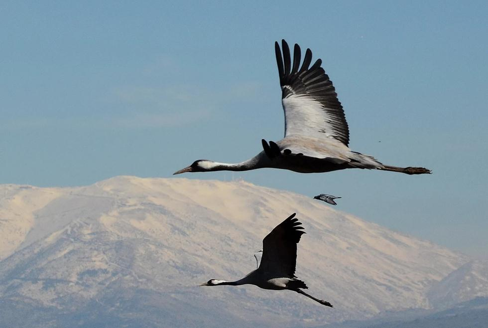 Журавли летят в Израиль. Фото: Узи Паз
