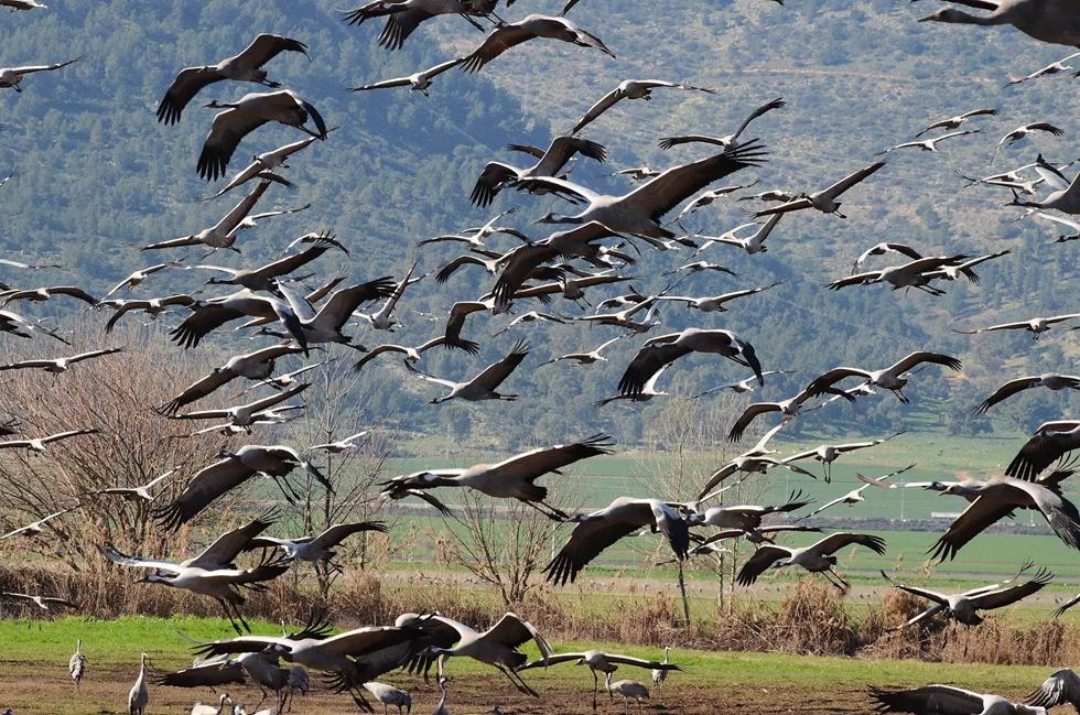 Журавли в долине Хула. Фото: Узи Паз