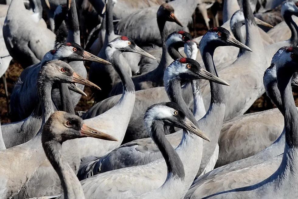 У взрослых птиц красные хохолки. Фото: Узи Паз