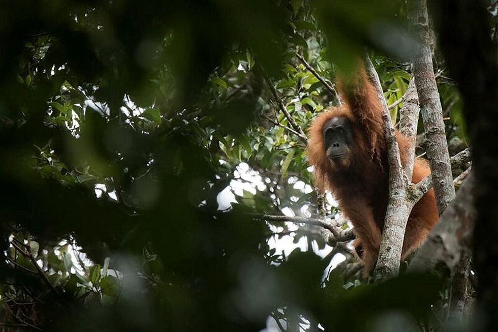 (צילום: AFP PHOTO / SUMATRAN ORANGUTAN CONSERVATION PROGRAMME / JONAS LANDOLT)