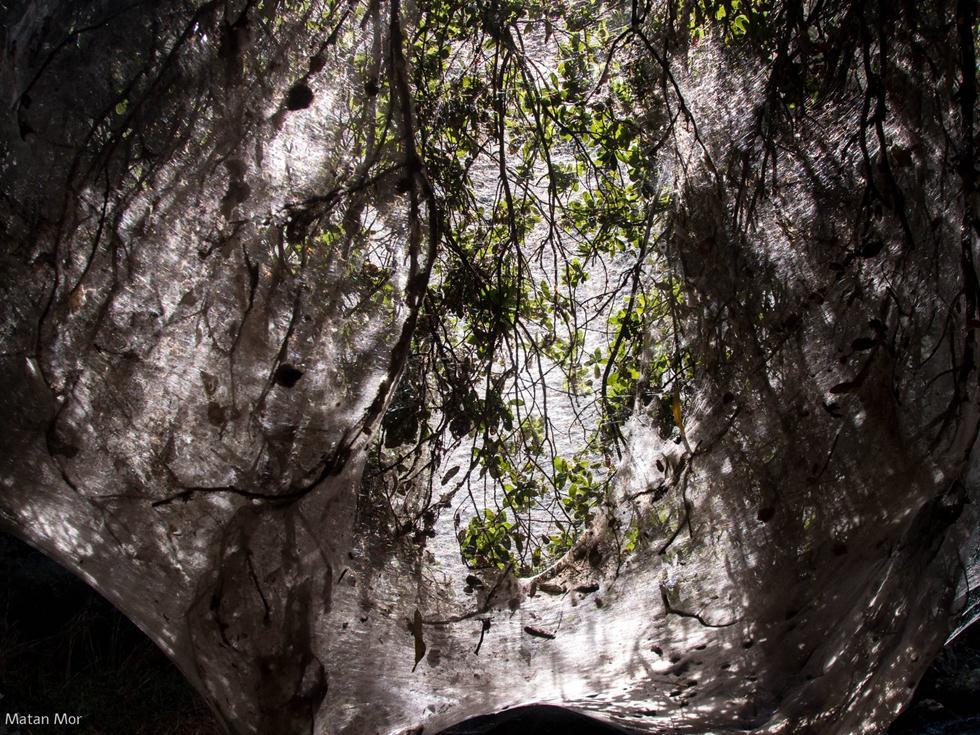 אור השמש משתקף מבעד לרשתות המכסות את ענפיו של עץ אלון (צילום: מתן מור)